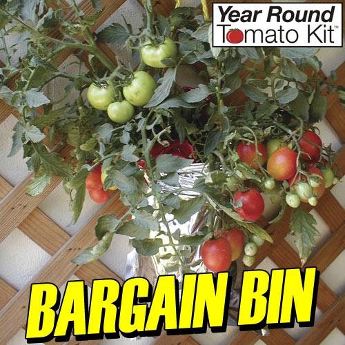 Year Round Tomato Plant